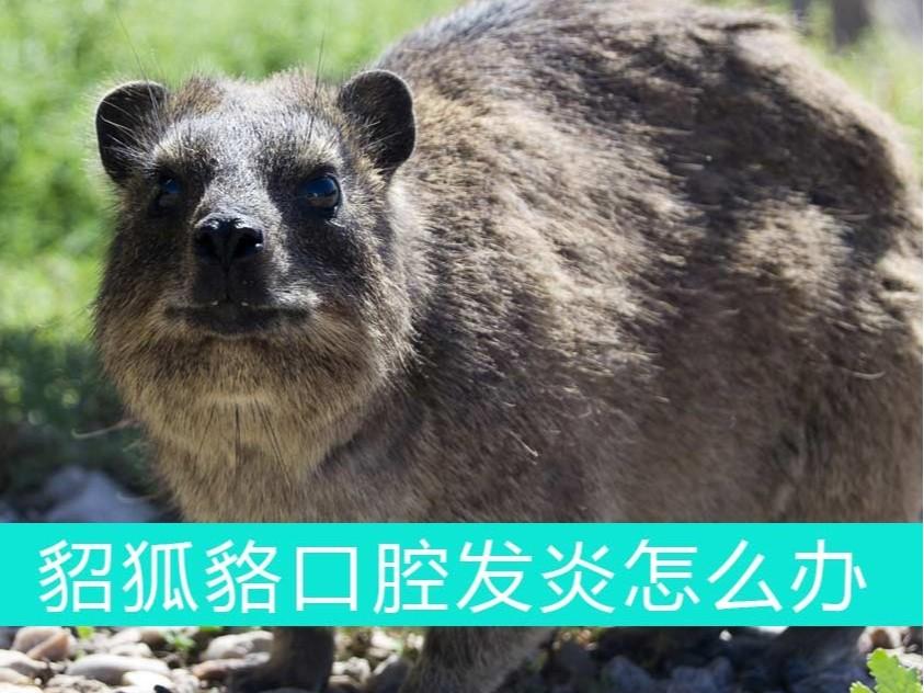 貂狐貉口腔发炎怎么办?青岛康地恩帮您忙