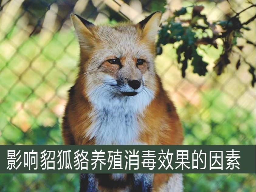 影响貂狐貉养殖消毒效果的因素【康地恩特养】