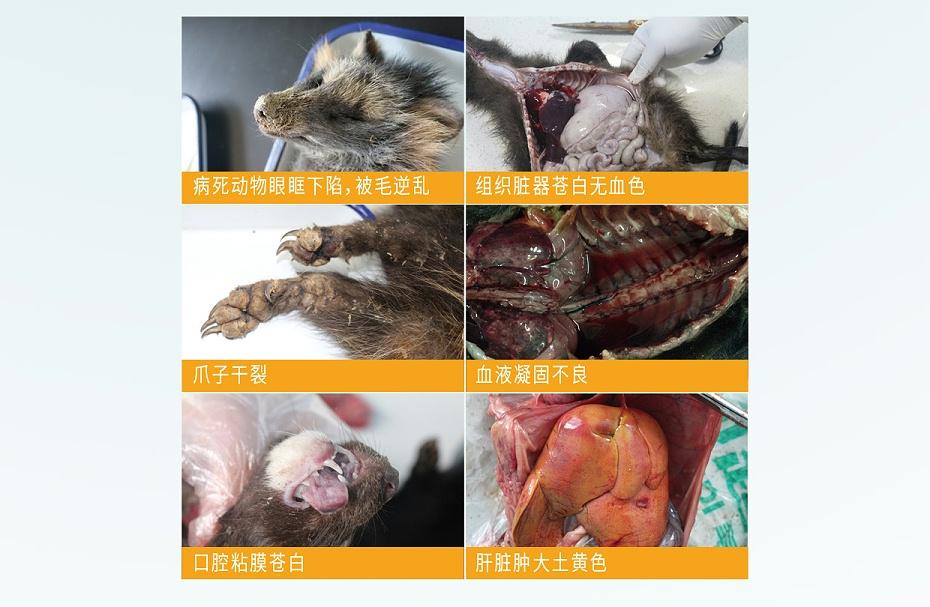 毛皮动物的血虫病盐酸多西环素可溶性粉青岛康地恩专卖3