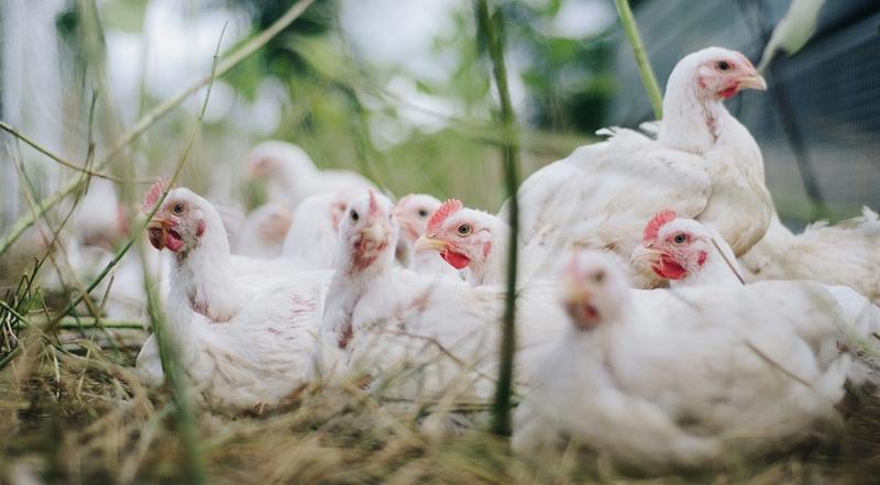 青岛康地恩白羽肉鸡之育成期管理